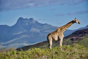 afrika safari žirafa
