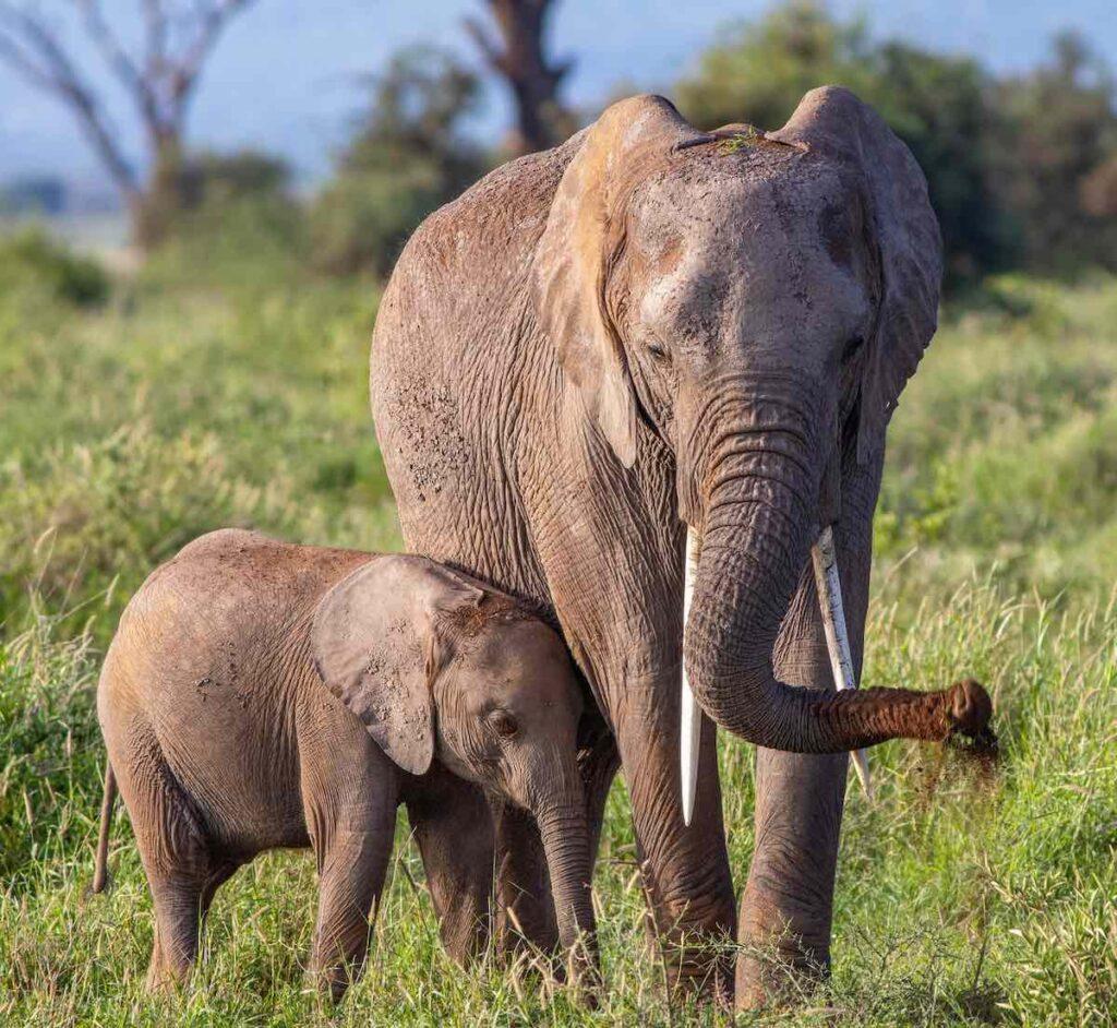 np Kruger-sloni