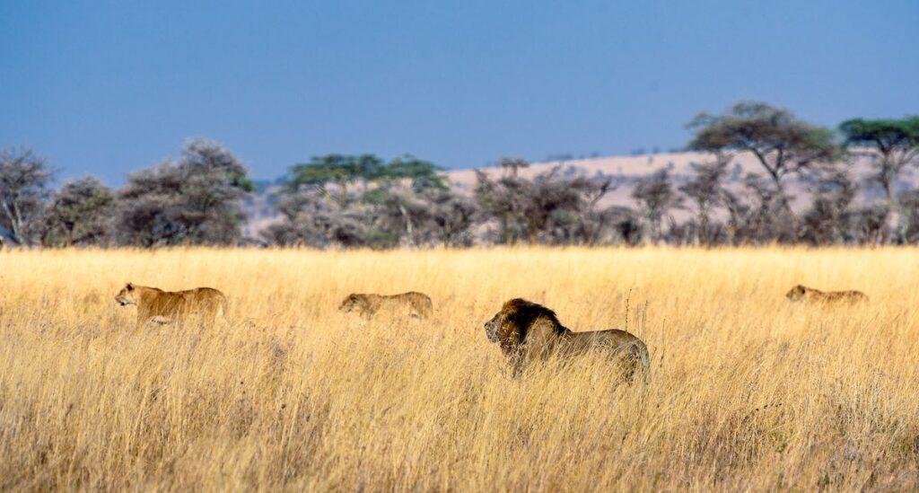 národní park Serengeti - lvi